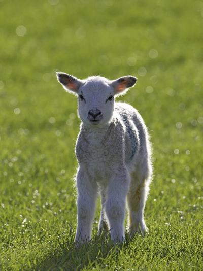 New-Born Lamb in Spring, Scotland-Mark Hamblin-Photographic Print