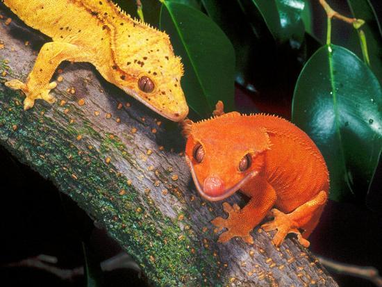 New Caledonia Crested Gecko, Native to New Caledonia' Photographic Print - David Northcott | Art.com