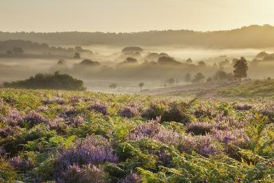 New Forest Heathland with Ling (Calluna Vulgaris) and Bell Heather (Erica Cinerea) Hampshire, UK-Guy Edwardes-Photographic Print