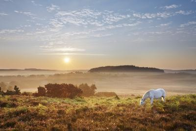 New Forest Pony Grazing on Latchmore Bottom at Dawn, the New Forest National Park, Hampshire, UK-Guy Edwardes-Photographic Print