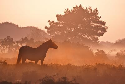 New Forest Pony in Mist at Dawn.-Julie Mitchell/Southdowns Photographics-Photographic Print