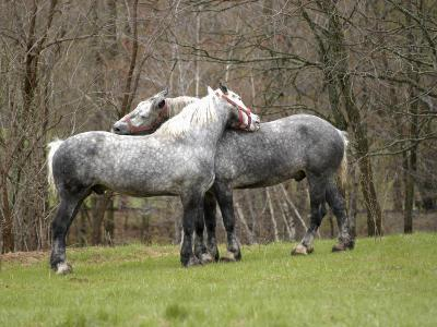 New Hampshire, North Conway, Two Dutch Draft Horses-Jamie Gemmiti-Photographic Print