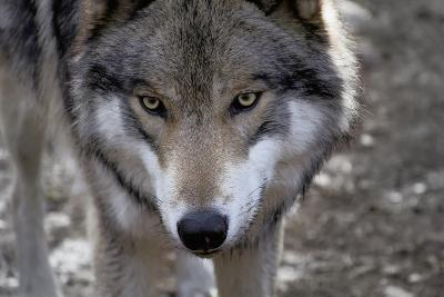 New Jersey, Columbia, Lakota Wolf Preserve. Close-Up of Timber Wolf's Head-Jaynes Gallery-Photographic Print