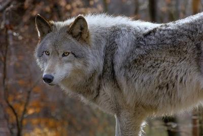 New Jersey, Columbia, Lakota Wolf Preserve. Close-Up of Timber Wolf-Jaynes Gallery-Photographic Print