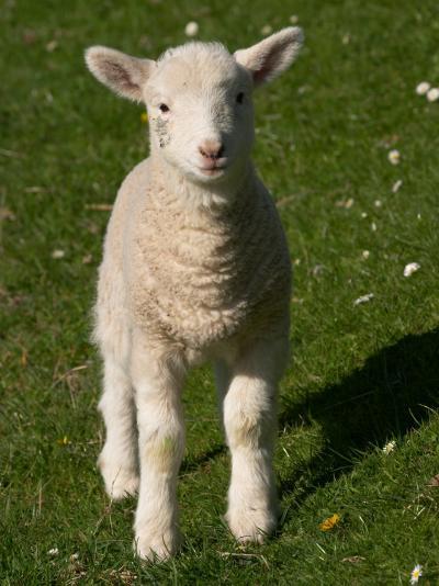 New Lamb, near Dunedin, South Island, New Zealand-David Wall-Photographic Print