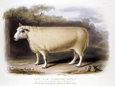 New Leicester (Dishle) Ram, 1842--Giclee Print