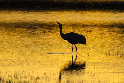 New Mexico, Bosque Del Apache National Wildlife Refuge. Sandhill Crane at Sunset-Jaynes Gallery-Photographic Print