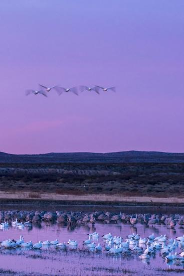 New Mexico, Bosque Del Apache National Wildlife Refuge. Snow Geese and Sandhill Cranes at Sunrise-Jaynes Gallery-Photographic Print