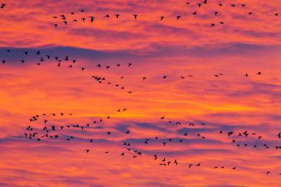New Mexico, Bosque Del Apache National Wildlife Refuge. Snow Geese Flying at Sunrise-Jaynes Gallery-Photographic Print