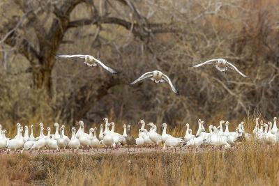 New Mexico, Bosque Del Apache National Wildlife Refuge. Snow Geese Taking Flight-Jaynes Gallery-Photographic Print