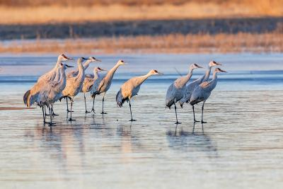 New Mexico, Bosque Del Apache Natural Wildlife Refuge. Sandhill Cranes on Ice at Sunrise-Jaynes Gallery-Photographic Print