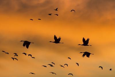 New Mexico, Bosque del Apache NWR. Sandhill Cranes Flying at Sunset-Don Paulson-Photographic Print