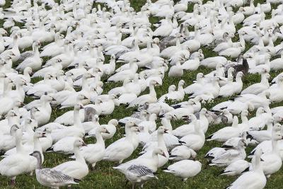 New Mexico, Bosque del Apache NWR. Snow Geese Flock on Grass-Don Paulson-Photographic Print