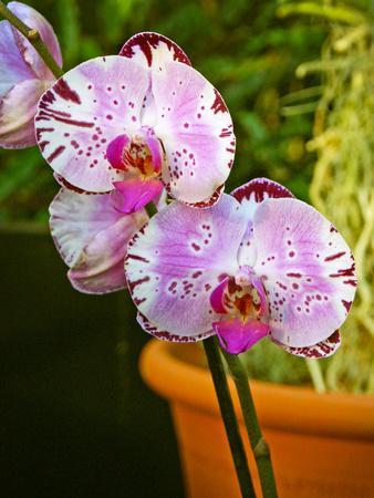 https://imgc.artprintimages.com/img/print/new-orchid-phalaenopsis-diamond-sky-on-display-at-the-kew-orchid-festival-kew-gardens-london_u-l-pv8xkw0.jpg?p=0