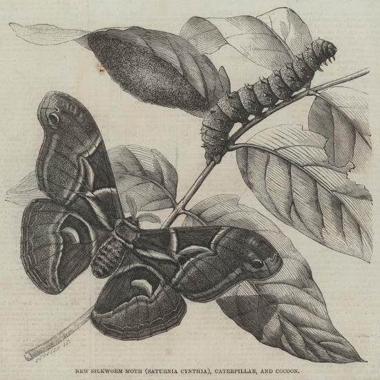New Silkworm Moth (Saturnia Cynthia), Caterpillar, and Cocoon--Giclee Print