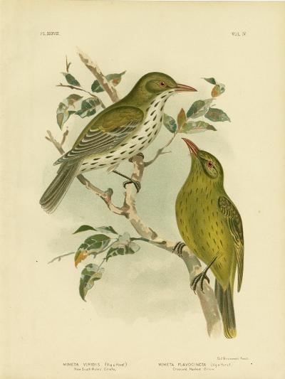 New South Wales Oriole or Green Oropendola, 1891-Gracius Broinowski-Giclee Print