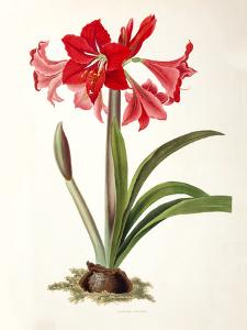Amaryllis Johnsoni by New York Botanical Garden