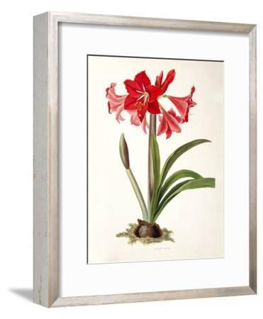 Amaryllis Johnsoni