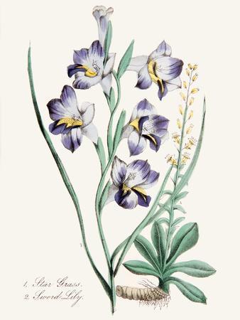 American Flora Stargrass