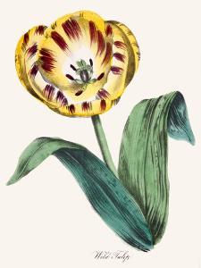 American Flora Wildtulip by New York Botanical Garden