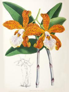 Fitch Orchid Cattleya Velutina2 by New York Botanical Garden