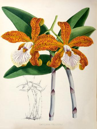 Fitch Orchid Cattleya Velutina