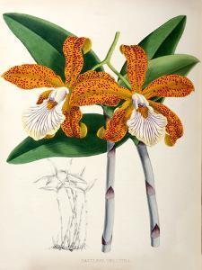 Fitch Orchid Cattleya Velutina by New York Botanical Garden