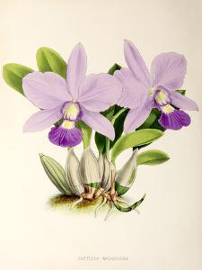 Fitch Orchid Cattleya Walkeriana by New York Botanical Garden