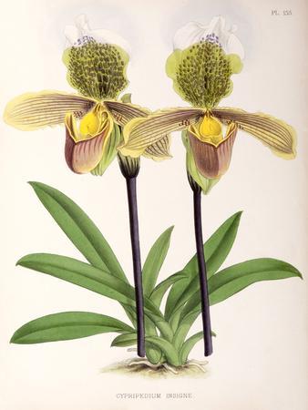 Fitch Orchid Cypripediuminsigne