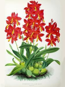 Fitch Orchid Epidendrum Vitellinummajus by New York Botanical Garden