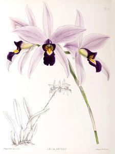 Fitch Orchid Laelia Anceps by New York Botanical Garden