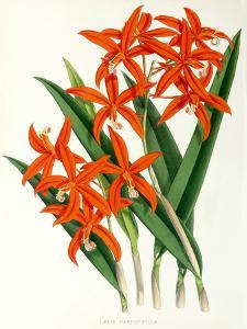 Fitch Orchid Laelia Harpophylla by New York Botanical Garden