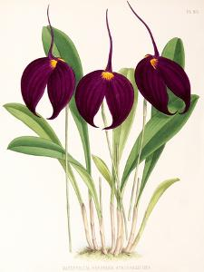 Fitch Orchid Masdevallia Harryana Atrosanguinea by New York Botanical Garden