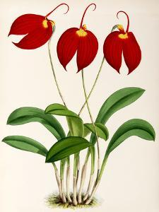 Fitch Orchid Masdevalliaignea by New York Botanical Garden