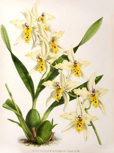 Fitch Orchid Odontoglossum Alexandrae Flaveolum by New York Botanical Garden