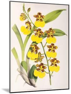 Fitch Orchid Odontoglossum Londesboroughianum by New York Botanical Garden