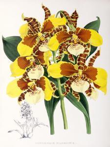 Fitch Orchid Odontoglossum Williamsianum by New York Botanical Garden
