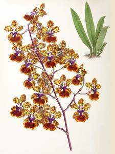 Fitch Orchid Oncidium Haematochilum by New York Botanical Garden