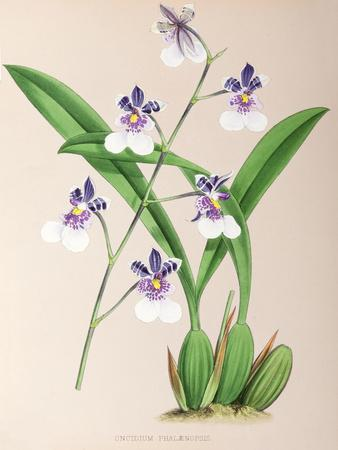 Fitch Orchid Oncidium Phalaenopsis