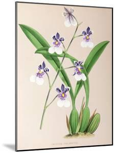 Fitch Orchid Oncidium Phalaenopsis by New York Botanical Garden