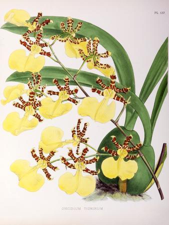 Fitch Orchid Oncidium Tigrinum