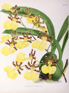 Fitch Orchid Oncidium Tigrinum by New York Botanical Garden