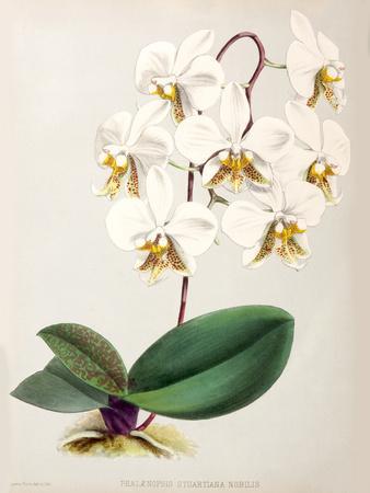 Fitch Orchid Phalaenopsis Stuartiana Nobilis