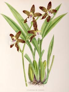 Fitch Orchid Zygopetalum Burkei by New York Botanical Garden