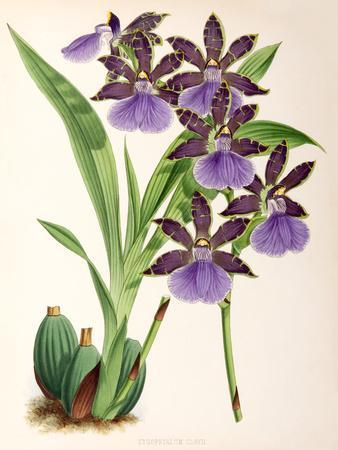 Fitch Orchid Zygopetalum Clayii