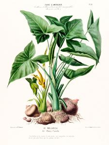 Flored Amerique Lemalanga by New York Botanical Garden