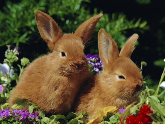 New Zealand Domestic Rabbits and Flowers-Lynn M^ Stone-Photographic Print