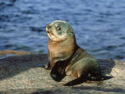 New Zealand Fur Seal, Arctocephalus Forsteri South Australia-Gerard Soury-Photographic Print