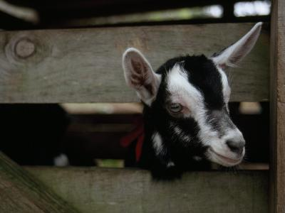 New Zealand Goat Kid Peers from it's Pen at a Goat Milk, Cheese Farm-Paul Sutherland-Photographic Print