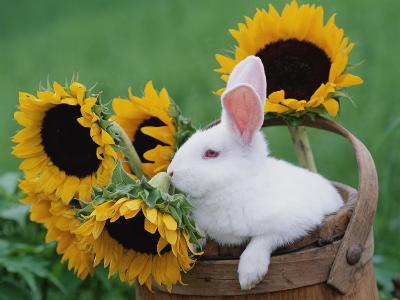 New Zealand Rabbit in Basket with Sunflowers, USA-Lynn M^ Stone-Photographic Print